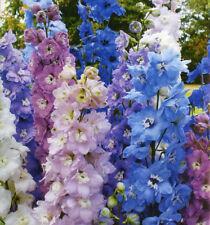 Larkspur Imperial Choice Mix Seeds 8 Bright Colours Annual Cut Flower Delphinium