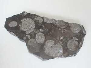 Goniatitenkalk, Fossilien, Bad Grund, Harz