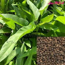 Thai Water Spinach seeds Ching Quat Chinese watercress Ong Choy