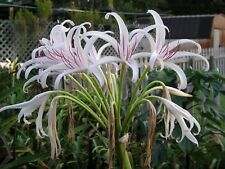 Crinum Lily, Mosess, large, blooming-size bulb, NEW, super rare
