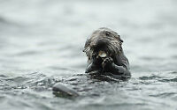 Framed Print - Otter Eating his Lunch in the Ocean (Picture Poster Wild Animal)