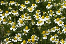 CHAMOMILE - Matricaria Recutita (4000 SEEDS)  Medicinal Herb