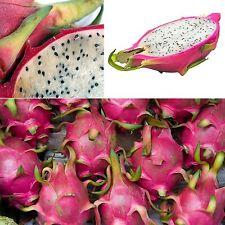 Drachenfrucht • Pitahaya • 20 Samen/seeds • Hylocereus undatus • Dragon Fruit
