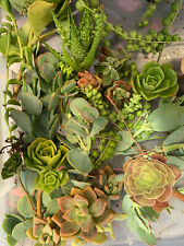 Succulent 15 Clipping Echeveria Hens Crassula String Of Pearls & Bananas Aeonium