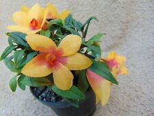 Rare Dendrobium (cuthbertsonii x sulaw.) x cuthbertsonii orchid plant FS