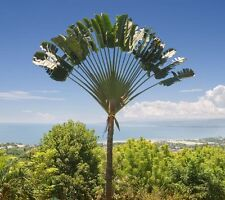 1000 Semillas al por mayor-Madagascar VIAJERO ravenala madagascariensis's Palma