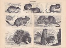 1888 Rodents Marmot Old World Porcupine Lemming Mouses Antique Print