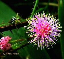 110 Graines Sensitive , Mimosa pudica , Sensitive Plant seeds