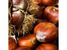 rare japanese and european hybrid chest seedling - heat tolerant