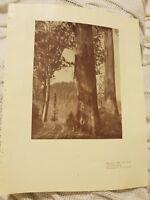 Big Gums - Black Spur Road, Near Narbethong - 1929 Magazine Print