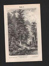 Lithografie 1897: Tanne Abies alba, A. pectinata I/II.