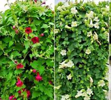 Lophos Compact Mix Of 6 Cutting raised Jumbo Plug Plants Vigorous Trailing Habit
