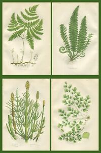 Lot of 4 Original Antique Victorian PRATT Fern Prints Botanical c1870 - Lot 28