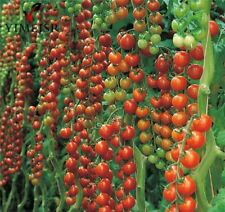 50pcs/Big red Cherry tomato sweet Tomatoe Seed plants organic vegetable seeds fo