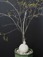 RARE EUPHORBIA HEDYOTOIDES @@ exotic madagascar bonsai caudex cacti seed 5 seeds