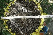 """SUNFLOWER """"TITAN"""" HUGE HEADS 15 DELICIOUS NUTRITIOUS SEEDS COMBINED SHIPPING"""