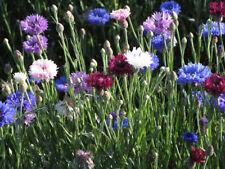 Centaurea Dwarf Polka Dot Mix Seed Annual for Poor Soils Good Colour