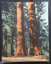 Vintage Original Hand Color Tinted Photo Early California Park Redwoods Forrest
