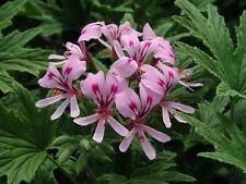 Highly Fragrant Lemon-Scented Pelargonium / Geranium 'Mabel Grey' min. 15 seeds