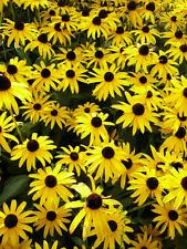 Black Eyed Susans, Heirloom Flower Seeds, Non-Gmo Perennial Wildflowers 100 Ct