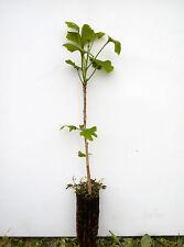 Planta de Ginkgo biloba - Plantón forestal - 2 años