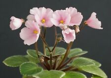 Witch Doctor feuille//Leaf African Violet Saintpaulia