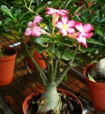 "5 Pcs Desert Rose/""Flame Mountain/"" Perennial Adenium Obesum Seeds#D1030"
