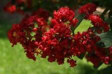 New listing Crape Myrtle- Lagerstroemia 'Tightwad Red' Dwarf 4 inch pot