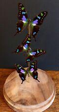 Envolée de 3 Papillons Exotiques Graphium Weiskei de Nouvelle Guinée sous globe