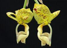 Orchid Species Stanhopea deltoidea Fragrant