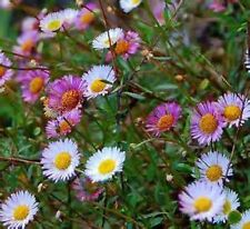 5 Seaside Daisy Colour Mix Garden Plants Evergreen Flowers Household Plant