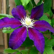 clematis 'THE VAGABOND' 20 seeds) Deep purple with deep pink flowers-small vine