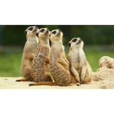Full Drill 5D Diamond-Painting Embroidery Meerkat Kits Art Embroidery Leisure