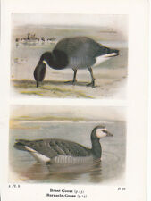 BIRD PRINT 60 YEARS OLD BRENT & BARNACLE-GOOSE ~ BIRDS OF THE BRITISH ISLES
