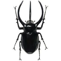 Chalcosoma atlas keyboh ONE REAL RHINO RHINOCEROS BEETLE UNMOUNTED PACKAGED