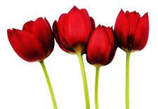 Grande Floral Lona Arte Tulipanes Rojos en montado blanco A1