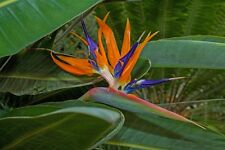 Bird of paradise, Strelitzia reginae plant approx. 25cm tall