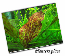 Echinodorus Paul Kloecker- Live Aquatic Aquarium Fish Tank Plants
