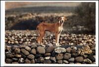 Neue Motiv-Postkarte Thema Hunde Dogs Dog schöner Hund extrem dünn schlank