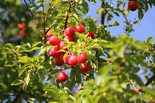 Cherry Plum Tree / Prunus Cerasifera / Myrobalan, 2-3ft Tall, Edible Hedging