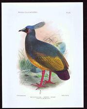 Choiseul or Solomons crested Pigeon- MICROGOURA MEEKI - Keulemans - Bird Print