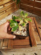 Zamia furfuracea cv. variegata; très rare! Z1 Cycad, Encephalartos, Dioon, Cycas
