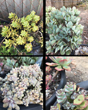 Mixed Succulent Cuttings x 10