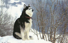 Polarhund * Schlittenhund * Husky * Malamute *  Dog  * Postkarte  *  Postcard 11