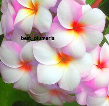 Plumeria Seeds/Flowers/ Fragrant Winny /Fresh 100 seeds!!