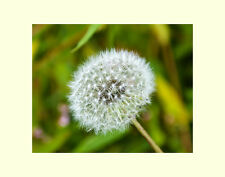 Dandelion flower matted picture floral wall decor photograph