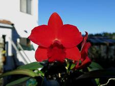 Do- Slc.Jillian Lee, Beaufort x Orpetii, mini-Cattleya Orchid