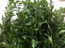 30 Edible Chinese Matrimony Vine, Wolfberry Vegetable Plant Cuts App 8 to 9""