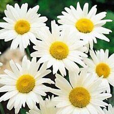 Shasta Daisy Alaska Nice Garden Flower by Seed Kingdom 6,000 Seeds
