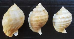 SHELLS CONCHIGLIE SET OF 3 CASSIDAE MEDITERRANEO